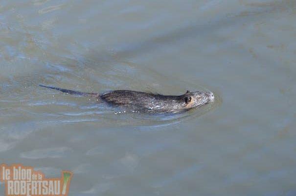 Les ragondins dans le Muhlwasser