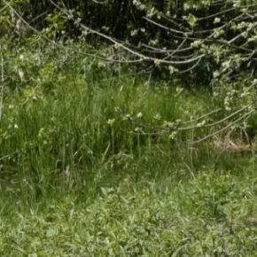Les grenouilles chantent à la Robertsau