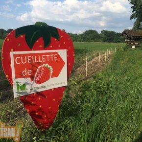 Libre cueillette de fraises : on n'attend plus que vous !