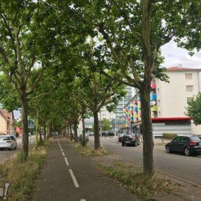 Rénovation de la rue de l'Ill : les arbres ont-ils une chance d'être sauvés ?