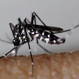 Le moustique tigre est à la Robertsau