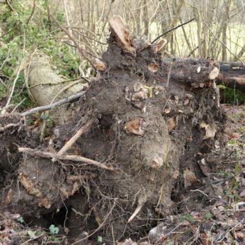 Forêt de la Robertsau : le frêne est toujours malade